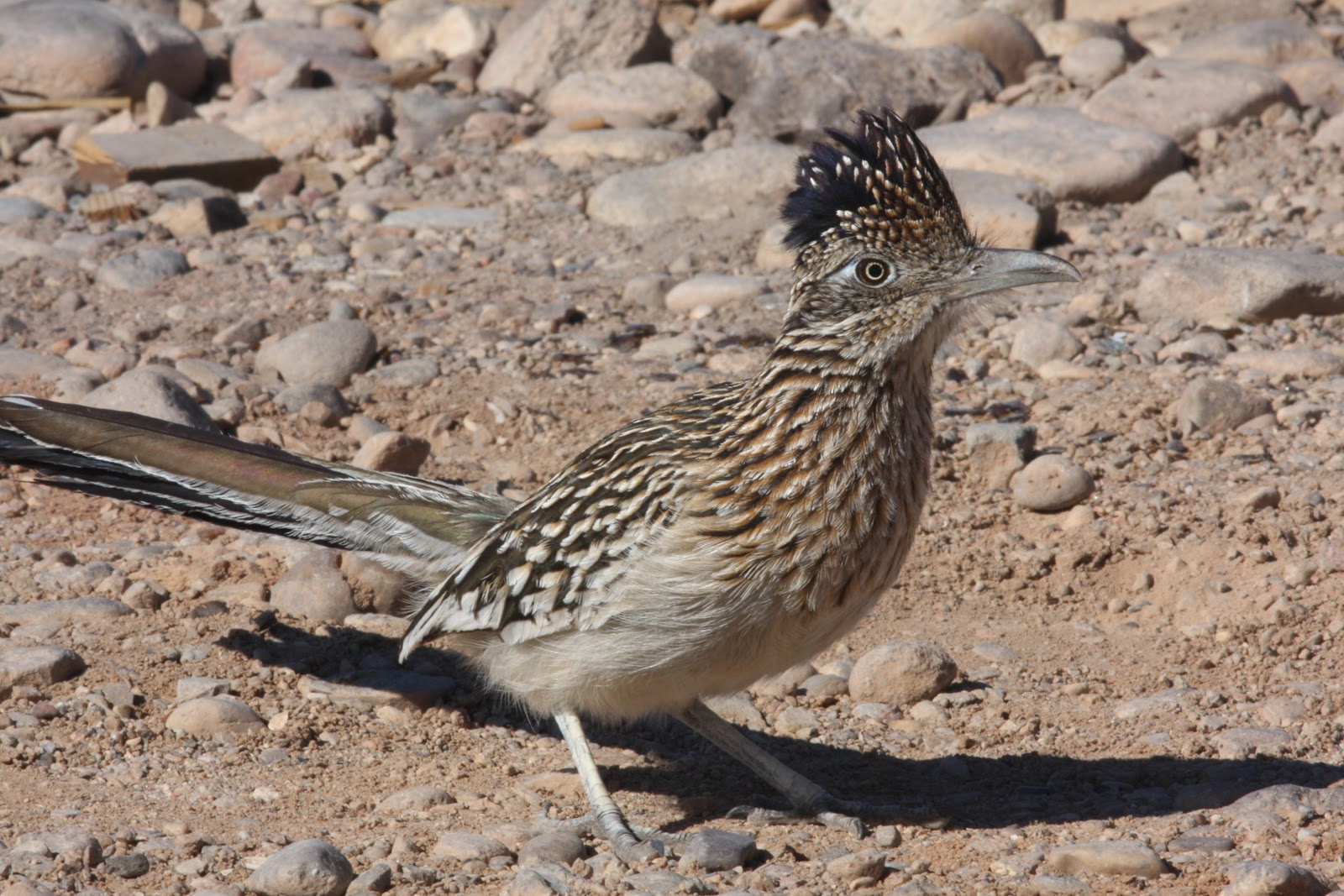 Yesterday, I had an opportunity to photograph a favorite desert bird ...