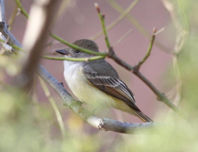The Nutting's Flycatcher is back!