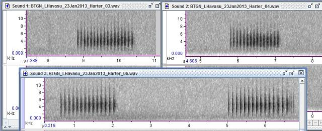 Spectrograms comparing the songs of two neighbor Black-tailed Gnatcatchers