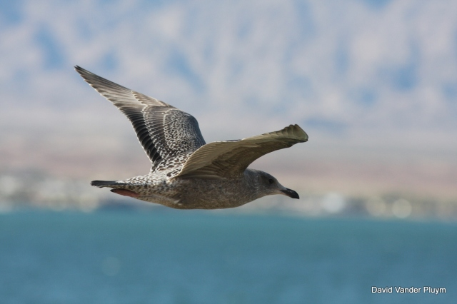 Note the thick bill, overall brown plumage, and pale inner primaries on this migrant 1st cycle Herring Gull. Here on 9 Nov 2011 at Pittsburgh Pt, Lake Havasu. Copyright (c) 2013 David Vander Pluym