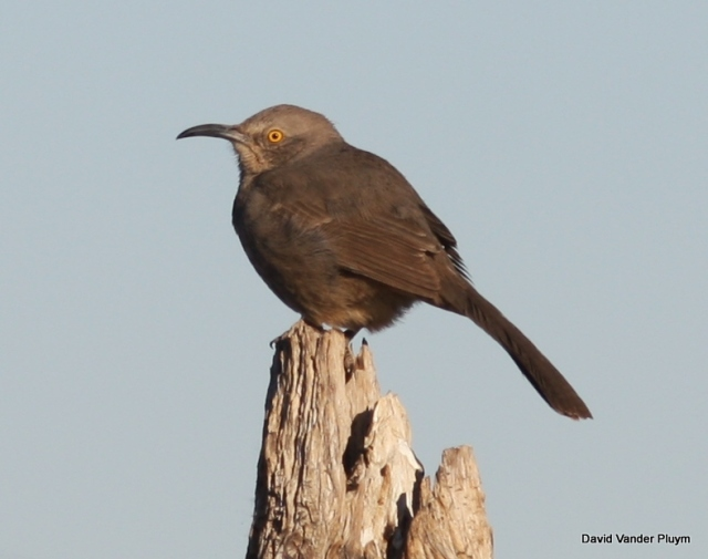 Many people are surprised to learn that Curve-billed Thrasher is actually a very rare species in the LCRV. The only individual(s) Lauren Harter and I have seen in the LCRV have been known bird(s) present at Black Meadow Landing, California. Here on 3 Feb 2011. Copyright (c) 2013 David Vander Pluym
