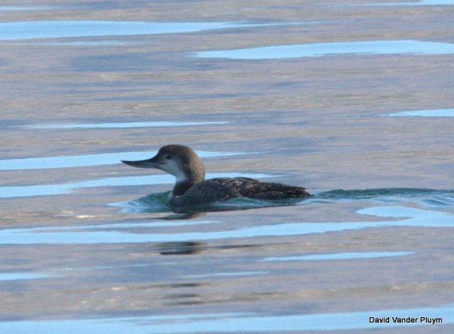 What might you think of this Common Loon with an abnormal bill, if seen in the distance? This is likely a returning bird to Lake Havasu Ca/Az here 20 Jan 2013. Copyright (c) 2013 David Vander Pluym