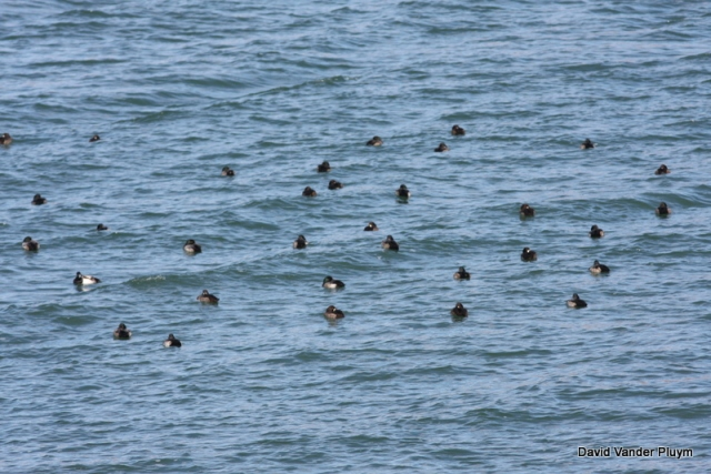 33 Greater Scaup, part of a much larger flock. Numbers like this are a very recent occurrence. These were in the Bill Williams Arm of Lake Havasu LP, Az here 5 Dec 2011, where Greater is know the expected wintering species. Copyright (c) 2013 David Vander Pluym
