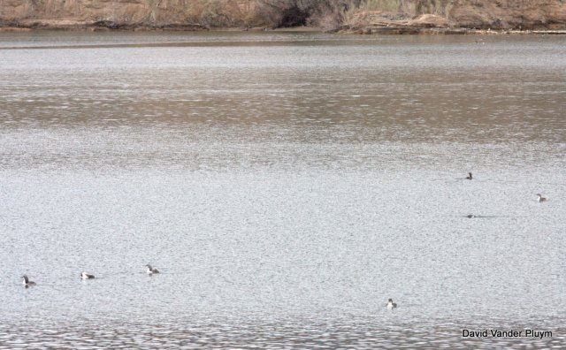 Though distant and hard to id from a blog post photo, these 7 loons are Pacific and the most I have seen together in the LCRV. Here at Site Six on 20 Feb 2013. Copyright (c) 2013 David Vander Pluym