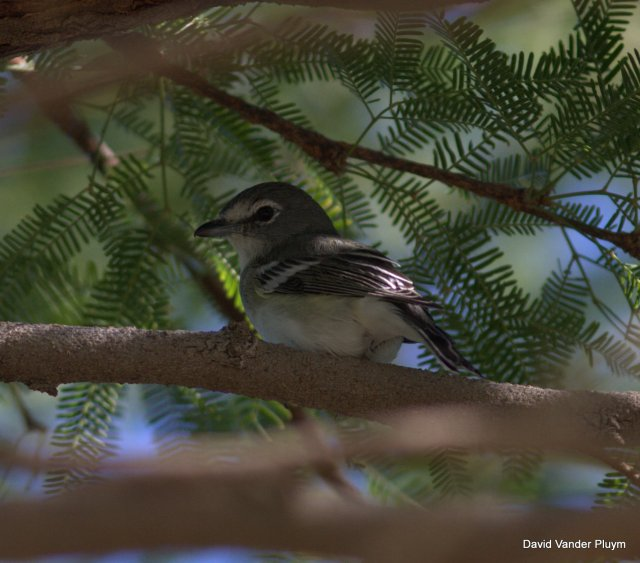 This Plumebous Vireo, though here occurring on 31 Oct 2012, this individual attempted to winter at Rotary Park Lake Havasu City. Wintering birds have clouded the status of this species in spring in the the LCRV. Copyright (c) 2013 David Vander Pluym