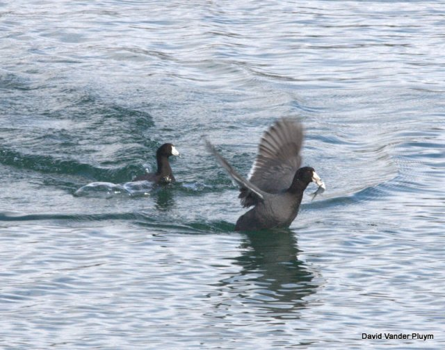 An American Coot engaged in  kleptoparasitism while the other tries to evade with the shad. Taken at Site Six AZ 10 Feb 2012 Copyright (c) 2013 David Vander Pluym