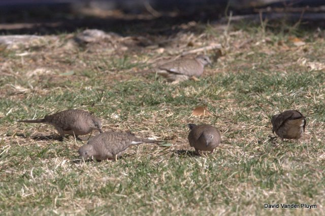 These 5 Inca Doves (part of a group of 9) at Rotary Park, Lake Havasu City on 13 Feb 2013 are currently the only known flock in the LCRV north of Parker Dam. This species in recent years have declined across much of its range in California and Arizona. Copyright (c) 2013 David Vander Pluym