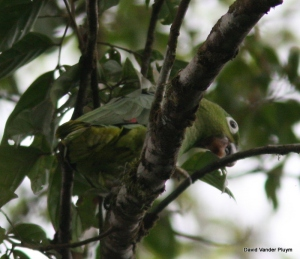 Mealy Parrots are always loud, sometimes obnoxious and as a canopy species difficult to photograph! This individual was at Rara Avis, Costa Rica 9 Apr 2009. Copyright (c) 2013 David Vander Pluym
