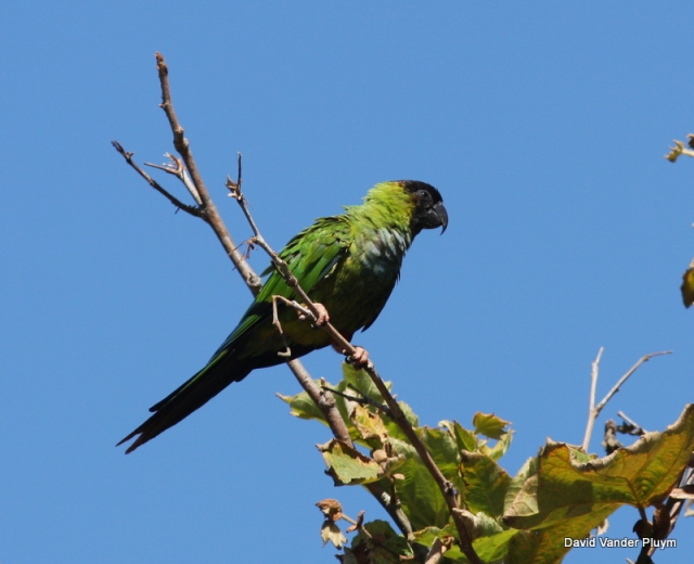 Nanday (Black-hooded) Parakeets have recently been added to the Florida and ABA checklists. This bird was part of an increasing population in southern California near Malibu. This population is also the only known psittacid in southern California to largely use native habitats (here on a native sycamore). Photographed at Sycamore Canyon Ventura Co California 24 Sept 2010. Copyright (c) 2013 David Vander Pluym