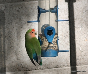 Rosy-faced Lovebirds will come in to back yard feeders such as this individual in the Phoenix area 3 Dec 2010, an easy way to study molt. Copyright (c) 2013 David Vander Pluym