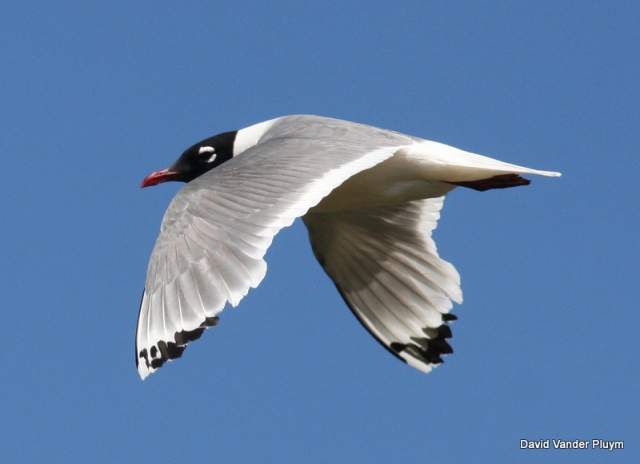 Franklin's Gull is a long distant migrant, breeding colonially across the northern Great Plains and locally south to the northern Great Basin. Look at how worn the flight feathers are on this individual at Malheur NWR Oregon, 22 July 2010. Not surpraisingly ths species molts on the breeding grounds in the fall. Copyright (c) 2013 David Vander Pluym