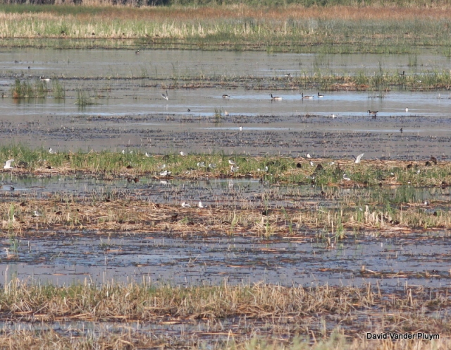 Franklin's Gull is a colony species and in the summer of 2010 Lauren and I did survey's for colonial marsh nesting species including Franklin's Gull  for the Klamath Bird Observatory. Here is a distant photo of a mixed colony of White-faced Ibis and Franklin's Gull from 30 June 2010 Malheur NWR, Oregon. Both species are sensitive to intrusion, hence the distant photo. Copyright (c) 2013 David Vander Pluym