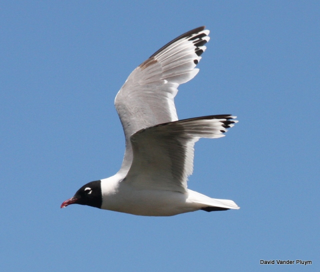 As mentioned before Franklin's Gull molt on the breeding grounds. This molt into basic plumage aspect is complete and startson the breeding grounds. In this photo you can see P4 growing in and that the outer primary coverts are worn conrasting with the inner primary coverts. This individual was at Malheur NWR Oregon 22 Jul 2010. Copyright (c) 2013 David Vander Pluym