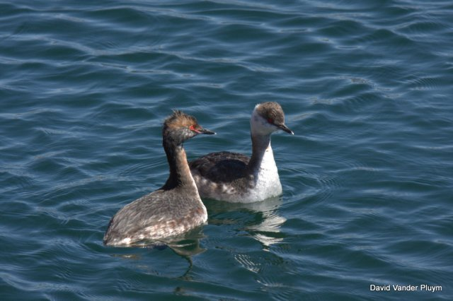 These two Horned Grebes were actively calling and engaging in the start of courtship.  Though one is largely in basic plumage and the other is largely in alternate note that they share the same structure helpful for iding birds in transitional plumages.  These birds were at Havasu Springs Resort, LP, Arizona. Copyright (c) 2013 David Vander Pluym