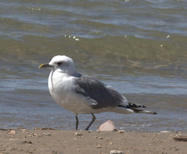Mew Gull at Rotary Park, Lake Havasu City, 24 March 2013