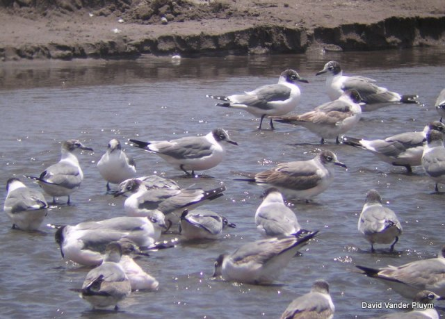 This group of Franklin's Gull were at the mouth of the Rio Lluta north of Arica, Chile 7 Jan 2004, roughly the middle of there wintering range along the coast of western South America. Note the different age classes with several first cycle birds showing brown coverts while the adults show slightly smaller white apical spots on the primaries in comparision to birds in alternate. Given the date most of these birds are likely undergoing the prealternate molt which is typically complete, one of only two species in the United States and Canada to have two complete molts a year (see text). Copyright (c) 2013 David Vander Pluym
