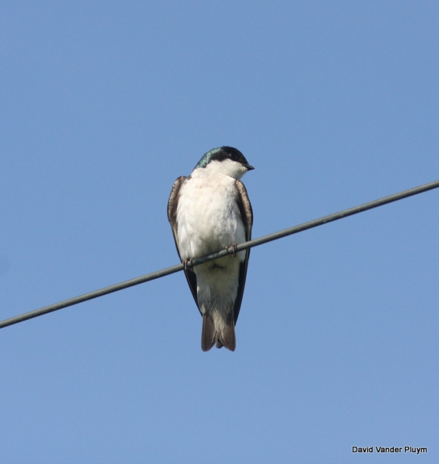 A lone Tree Swallow in Tillamook Oregon 17 May 2009, beautiful even when not in a huge flock. Copyright (c) 2013 David Vander Pluym