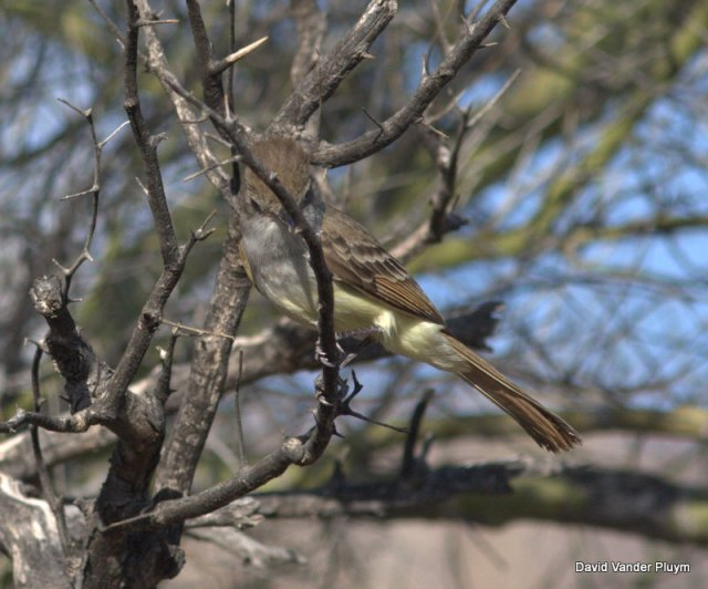 Nutting's Flycatcher sitting in a Palo Verde. Note the gray chest contrasting with the yellow belly, the very brown back and crown (lacking gray tones) as well as the secondary panel and tail pattern. Note also the worn tail on this individual.  BWR NWR 20 April 2013 Copyright (c) 2013 David Vander Pluym