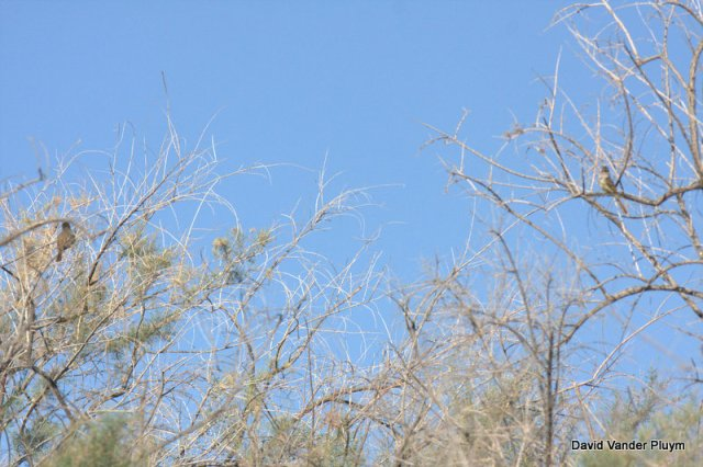 Yes it is a bad photo but it does show the two adult Nutting's Flycatchers! They just did not want to sit right next to each other. BWR NWR 20 April 2013 Copyright (c) 2013 David Vander Pluym