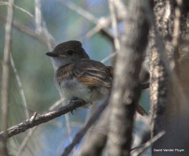 Fledgling Nutting's Flycatcher the first nesting record for the United States! BWR NWR 20 April 2013 Copyright (c) 2013 David Vander Pluym