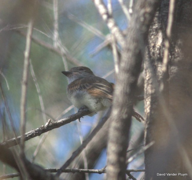 This baby Nutting's Flycatcher 21 Apr 2013 in the BWR NWR, Moh Arizona was born in an area where Ash-throated Flycatchers are common, a good indication that Ash-throated and Nutting's Flycatcher tend not to hybridize. Copyright (c) 2013 David Vander Pluym