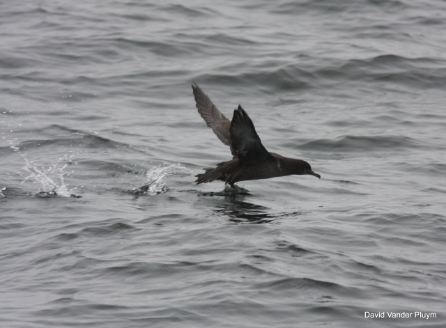 Sooty Shearwater on Monterey Bay, Monterey Co, Cali, on 1 Aug 2009. See on a Shearwater Journey's pelagic, I was a leader on. With only one prior record for Arizona (from 1971) Bobby Wilcox report of one at Mittry Lake Yuma, Az got us moving south in a hurry! Missing the shearwater we had to settle instead with a Brown Booby! Copyright (c) 2013 David Vander Pluym
