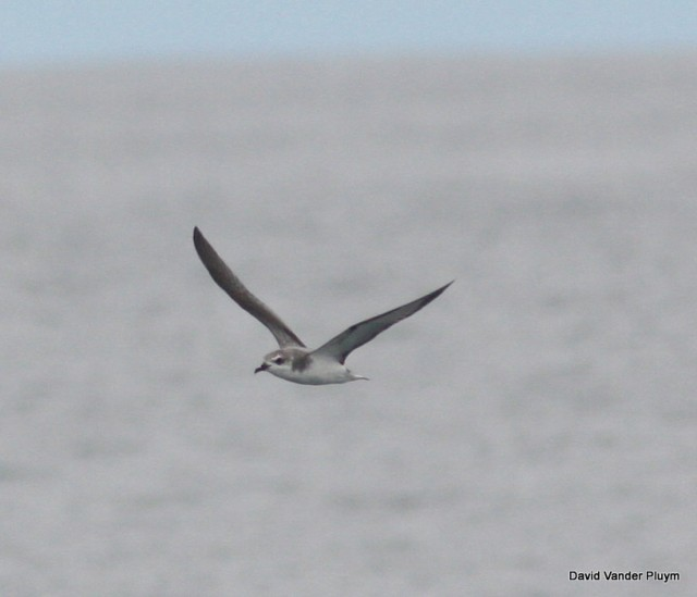 Cook's Petrel off Santa Cruz Co, Cali on 1 Aug 2009. See on a Shearwater Journey's pelagic, I was a leader on. With 3+ records for the Salton Sink this is my pick for the next tubenose in the LCRV. Copyright (c) 2013 David Vander Pluym
