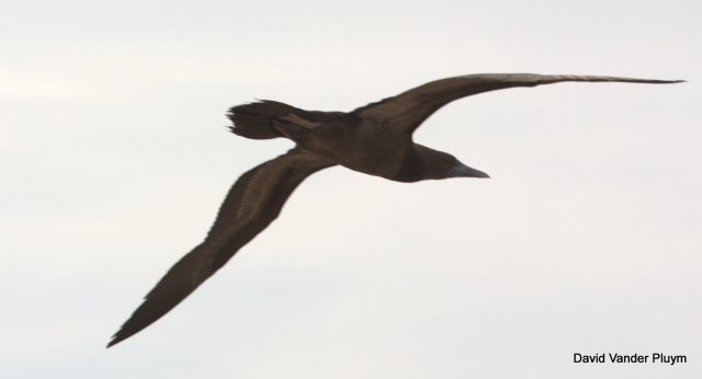 I discovered this Brown Booby in the area just south of Imperial Dam on 5 Aug 2013. Copyright (c) 2013 David Vander Pluym