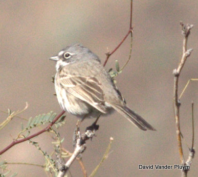 Bell's Sparrow at Quail Hollow in Parker Strip Ca on 20 Jan 2013. Note the thin back streaking that is hard to see and the thick dark malar stripe. Same individual as the next photo. Copyright (c) 2013 David Vander Pluym