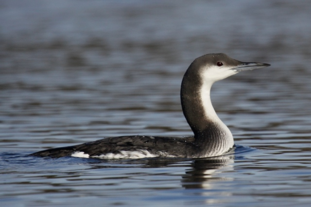 Arctic Loon by Noah Gaines  1804