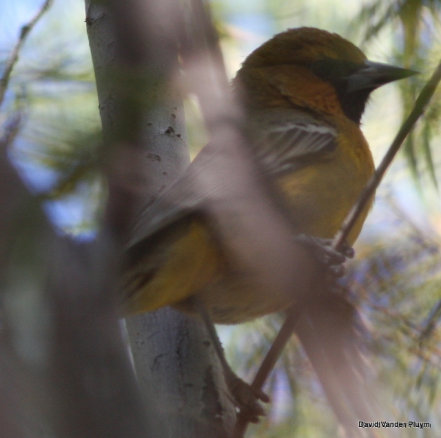 The Streak-backed Oriole in question was photographed, 4 Nov 2013 CVCA La Paz County AZ. Note the thick, relatively straight bill, with a dark tip and bright orange malar. Copyright (c) 2013 David Vander Pluym