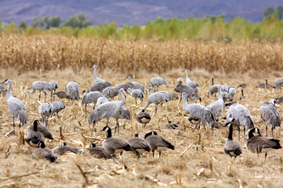 Sandhill Cranes and Canada Geese
